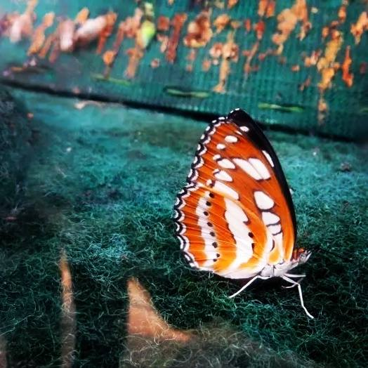 The Arrogant Butterfly