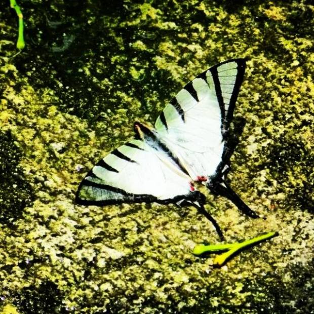 This is a zebra swallowtail butterfly. Its death is a dramatic tragedy. It's sad to watch it dying in silence. After fluttering its wings for the last time in its beautiful yet short life, it was shaking slightly yet still struggling for the last breath.
