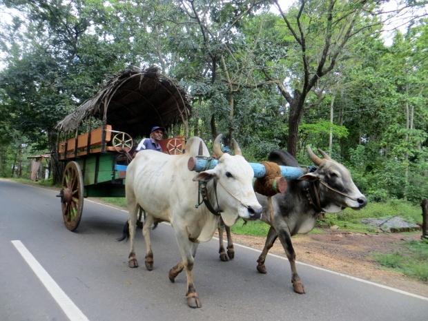 On the road, there are plenty of oxcarts available to take you to the bottom of Sigiriya. Like this one, isn't it beautiful? :-)