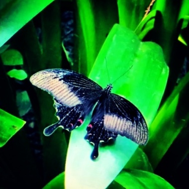 The Elegant Butterfly.