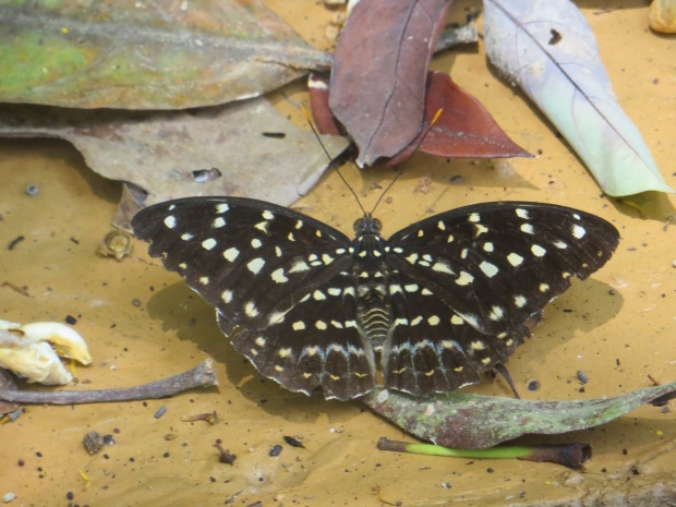 Spotted this butterfly when hiking at Penang Hill in Malaysia.